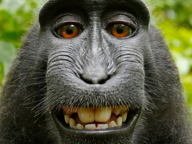 Le selfie, version singe