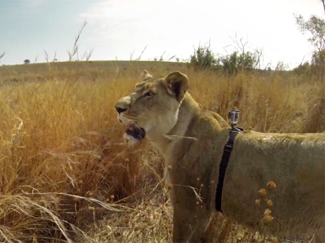 Chasse Lionne GoPro