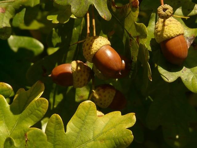 Génome chêne pédonculé