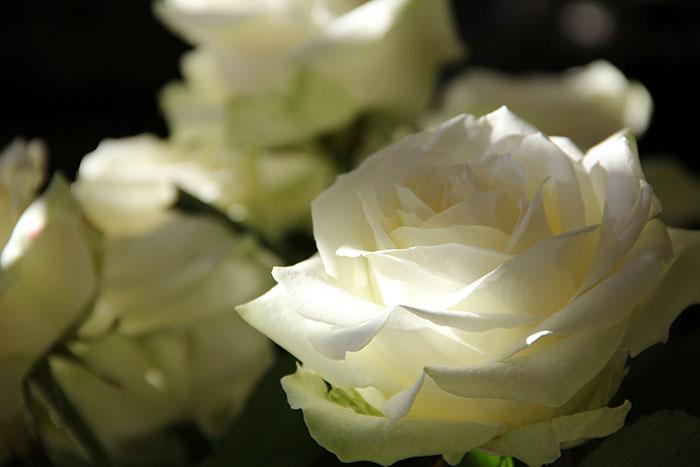 Ils ont créé une rose bionique capable de changer de couleur