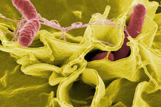 Bactérie immortel