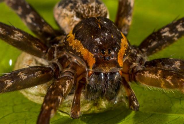 Brian l'araignée
