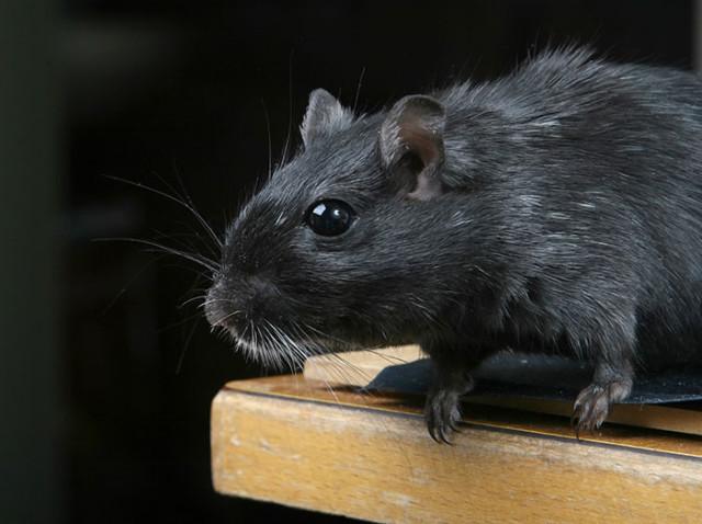 Rats Cyborgs