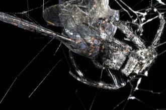 Araignée Darwin