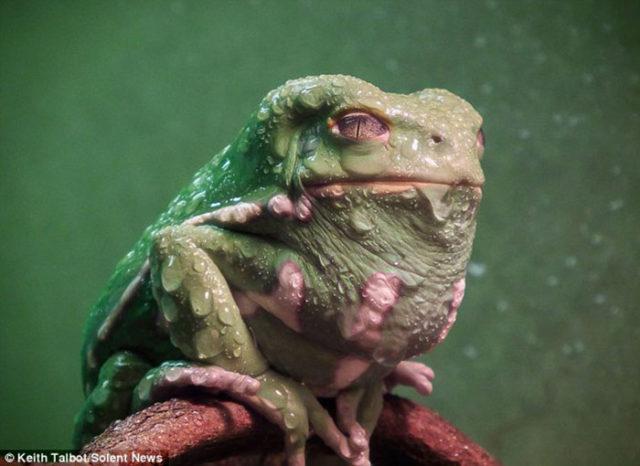 Jabba Grenouille : image 1