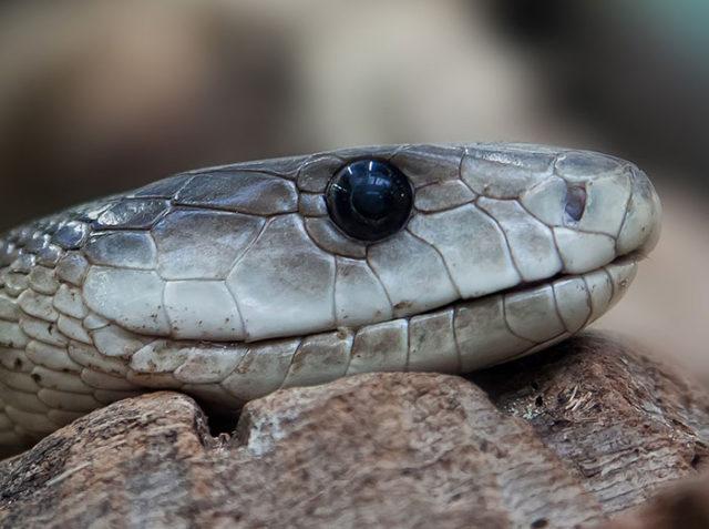 Serpent PS4