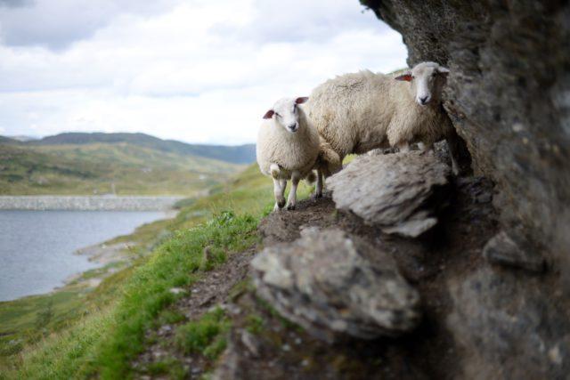Moutons-streetview-Ilesféroé