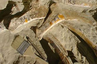 Fossiles Megaraptor