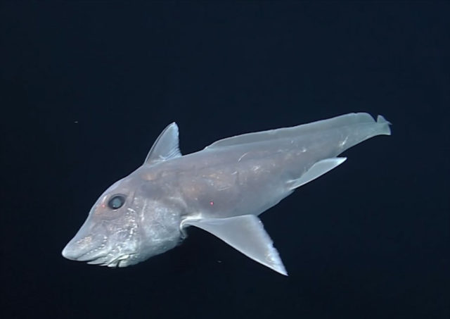 Un requin-fantôme a été vu pour la première fois ! (vidéo) — USA