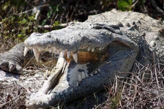 Crocodile Selfie