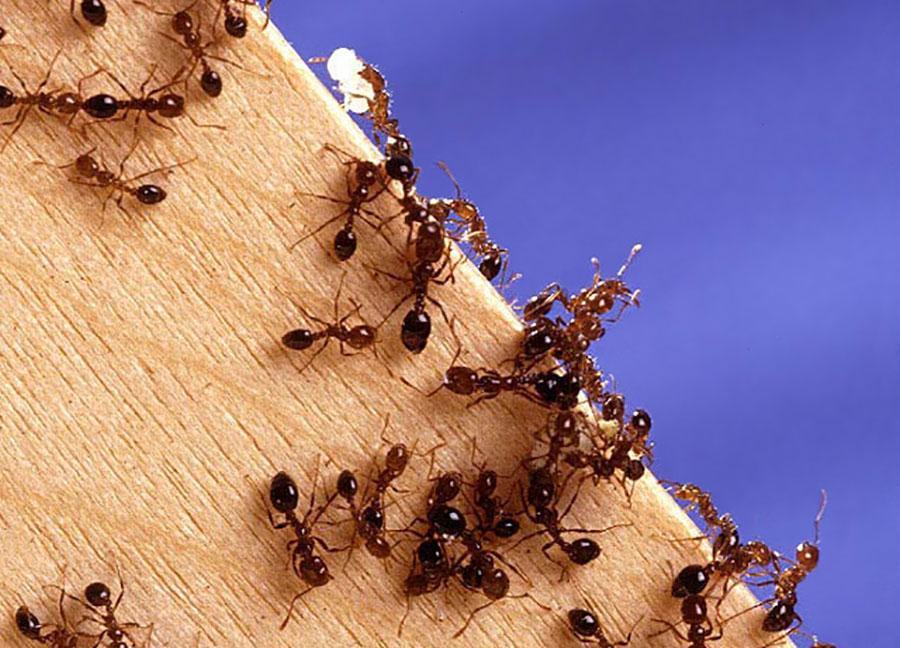 l 39 australie fait face une invasion de fourmis de feu. Black Bedroom Furniture Sets. Home Design Ideas