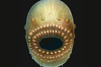 Saccorhytus coronarius : image 1