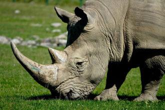 Rhinocéros Sigfox