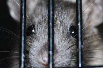 Rats deux têtes