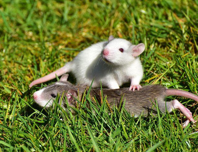Rat Canavero
