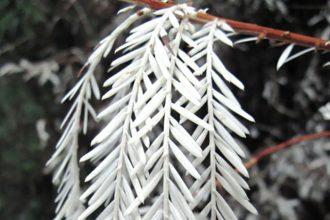 Sequoias Albinos