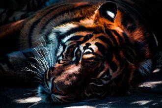 Tigre Bengale