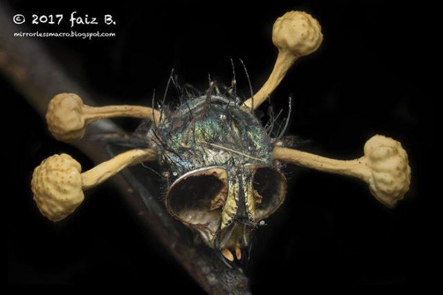 Insolite : une mouche tuée par un champignon parasite fait sensation sur les réseaux sociaux
