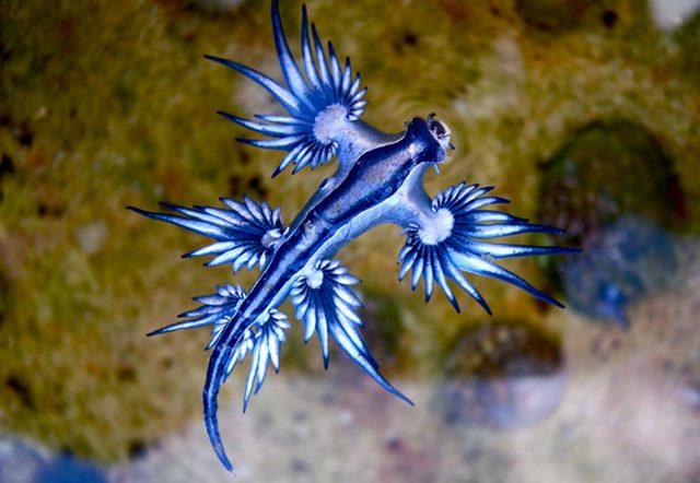 Dragon bleu des mers