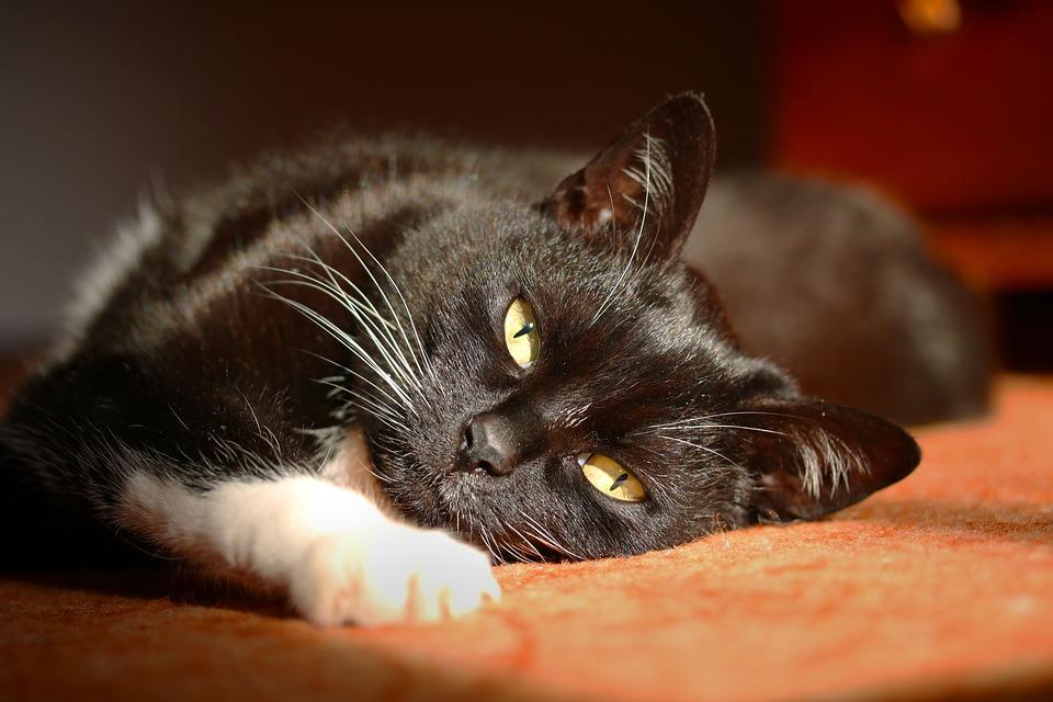 Un chat en train de se reposer