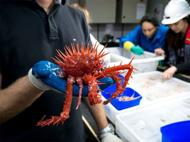 crabe étonnant