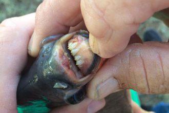 Poisson dents humaines