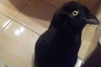 Chat Corbeau