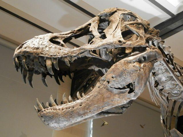 Scotty, le plus lourd Tyrannosaure rex du monde