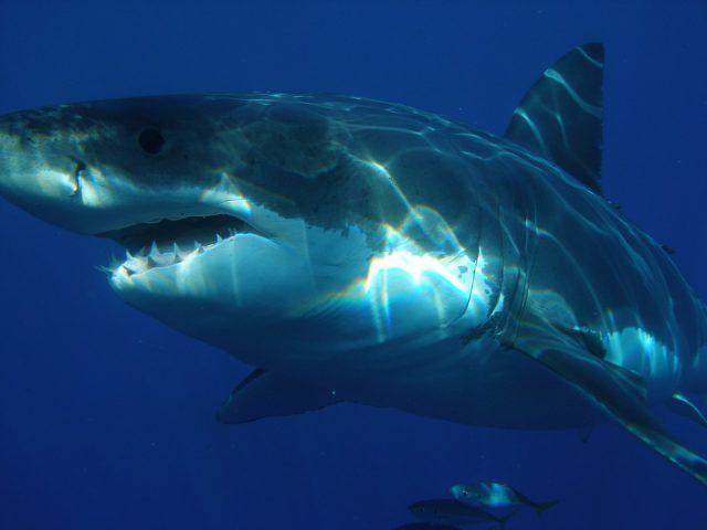 Les Grands Requins Blancs ne craignent visiblement pas l'arsenic