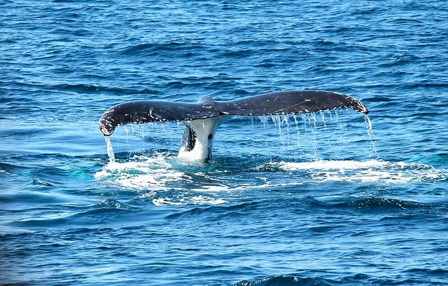 Utiliser des engins de pêche sans corde pourrait sauver la baleine noire de l'Atlantique de l'extinction