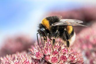 abeille fleurs