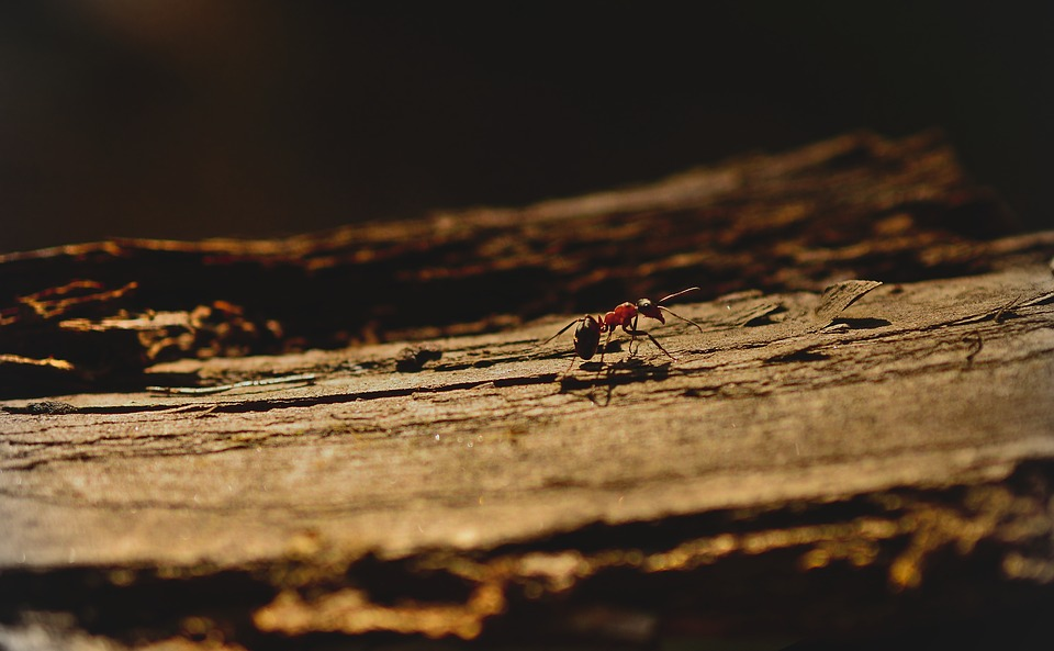 Les fourmis argentées du Sahara, fourmis les plus rapides du monde ?