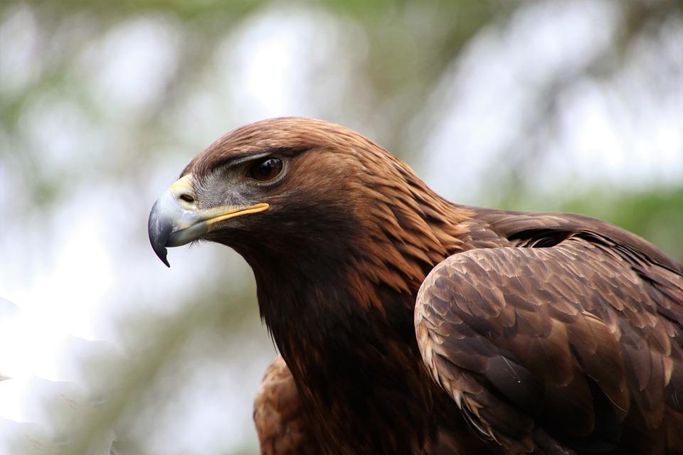 Quand les SMS envoyés par des aigles migrateurs coûtent chers aux scientifiques russes