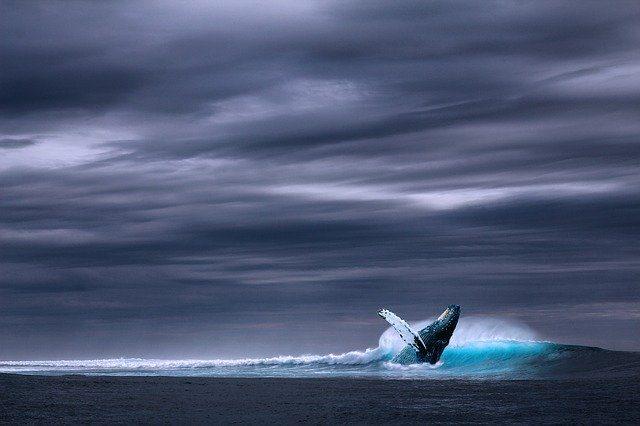 Une baleine bleue jaillissant hors de l'eau