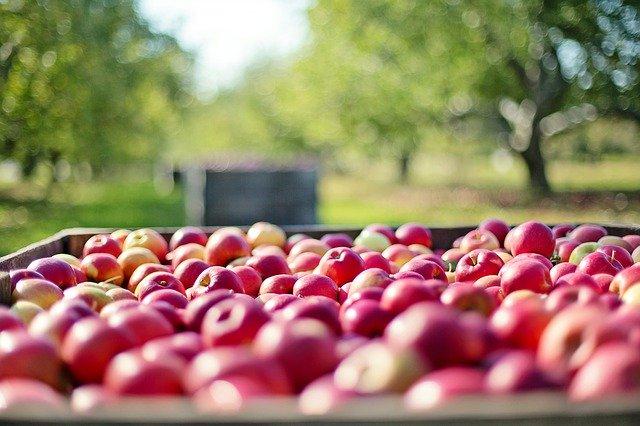 Des pommes, encore des pommes, toujours des pommes