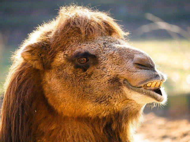 Le portrait d'un chameau
