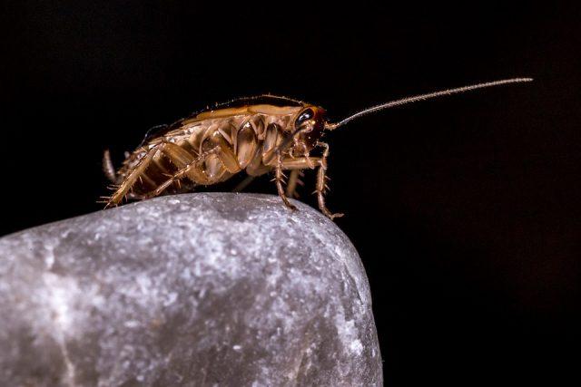 Ces blattes découvertes dans des grottes au Myanmar ont vécu à l'époque des dinosaures