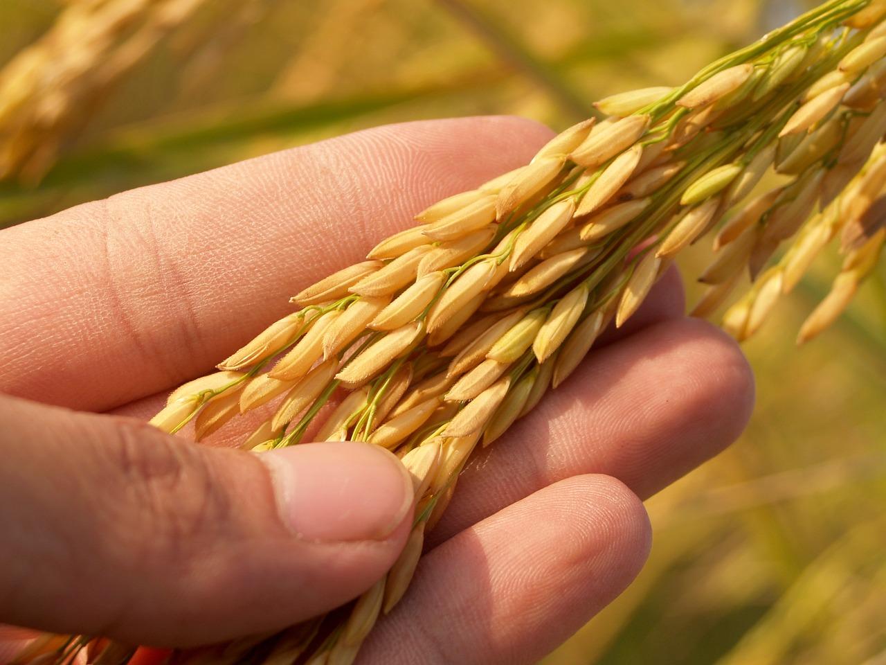 grains-riz