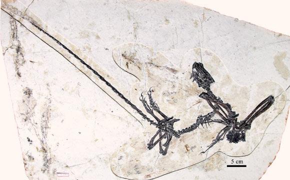 Kompsornis longicaudus