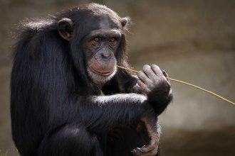 La photo d'un chimpanzés