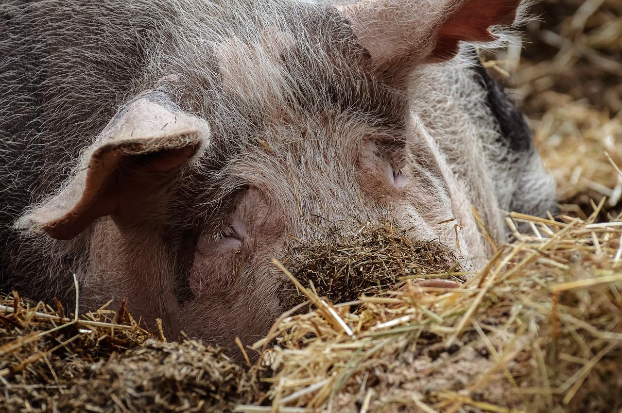 La photo d'un porc en train de se nourrir