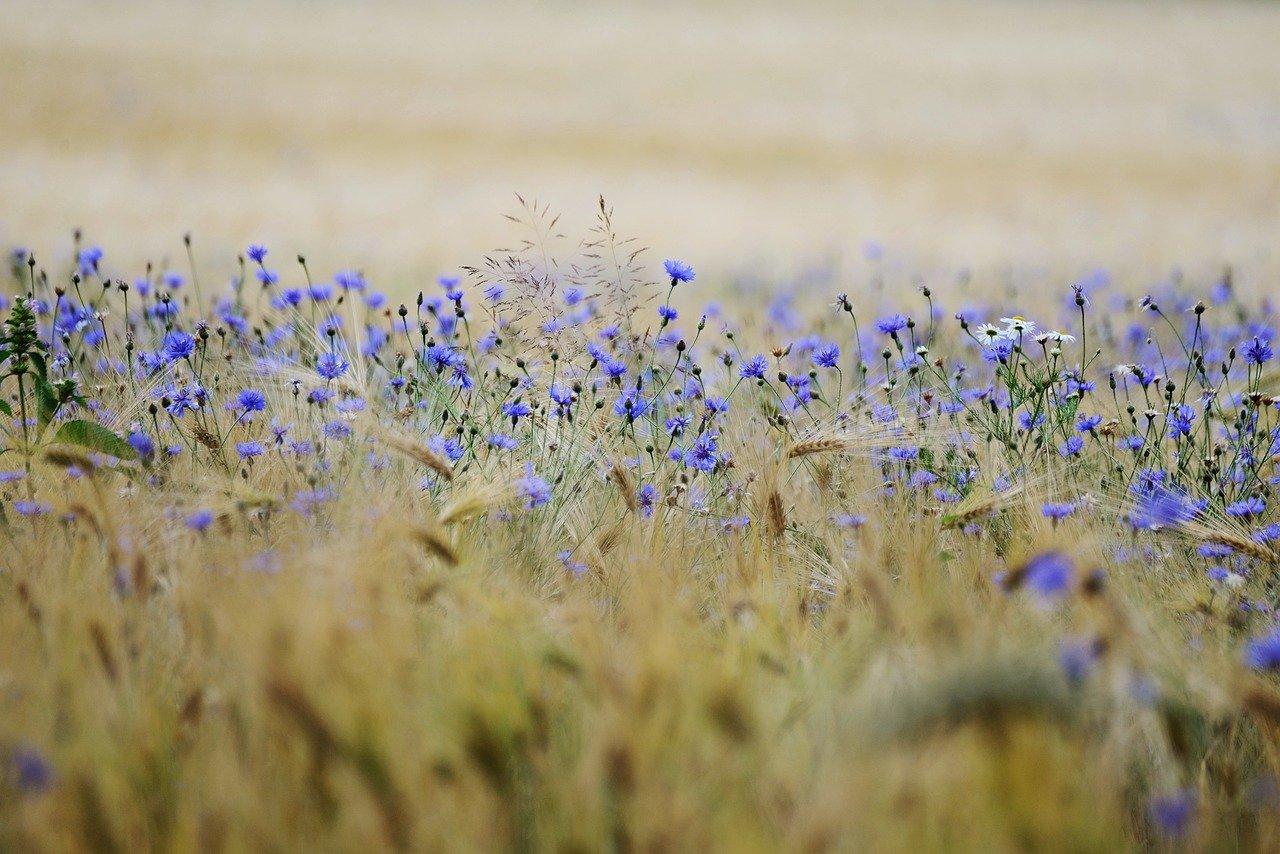Des céréales dans un champ