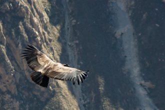 Un condor des Andes adulte