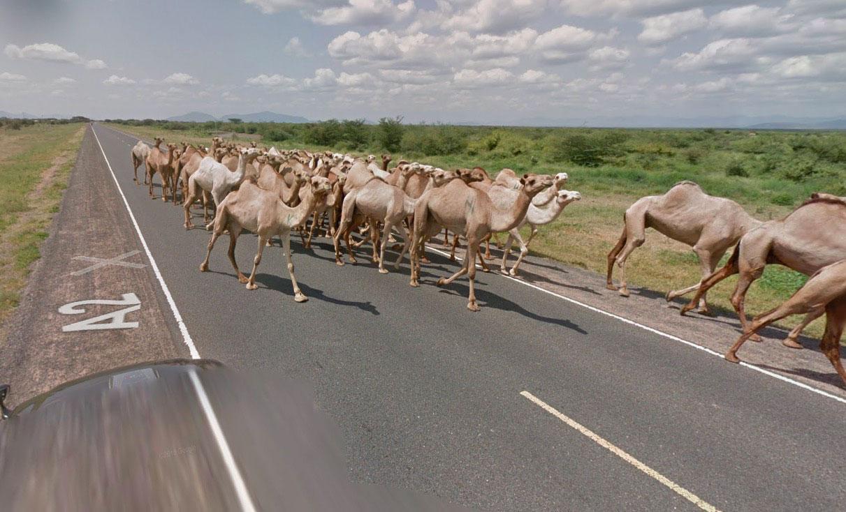 Quand des dromadaires investissent Google Street View