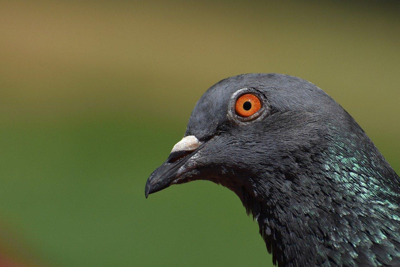 La tête d'un pigeon