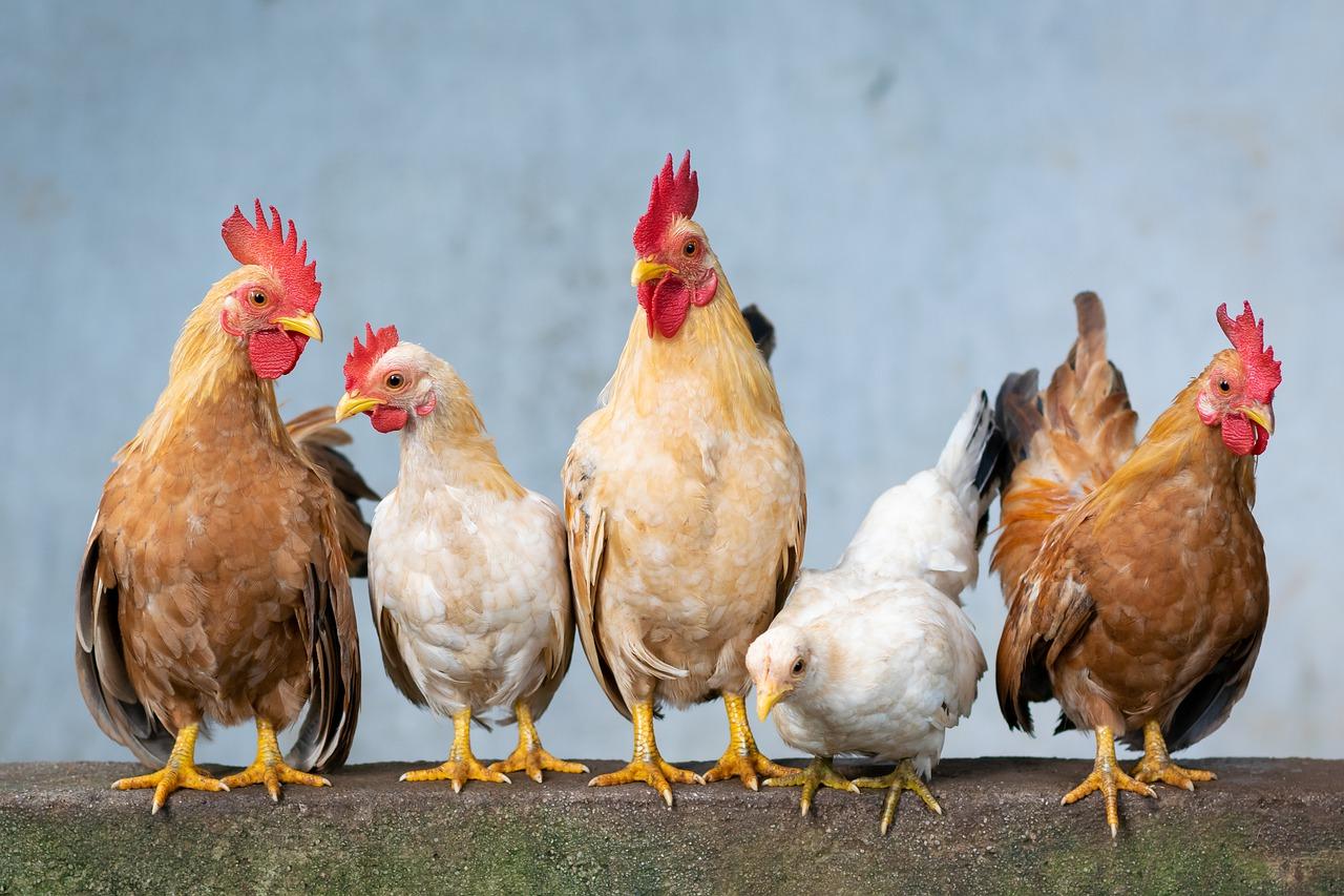 Un groupe de poulets domestiques
