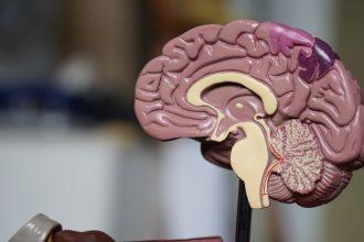 Une coupe transversale d'un cerveau