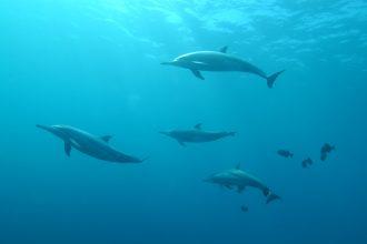 Des dauphins nageant en groupe