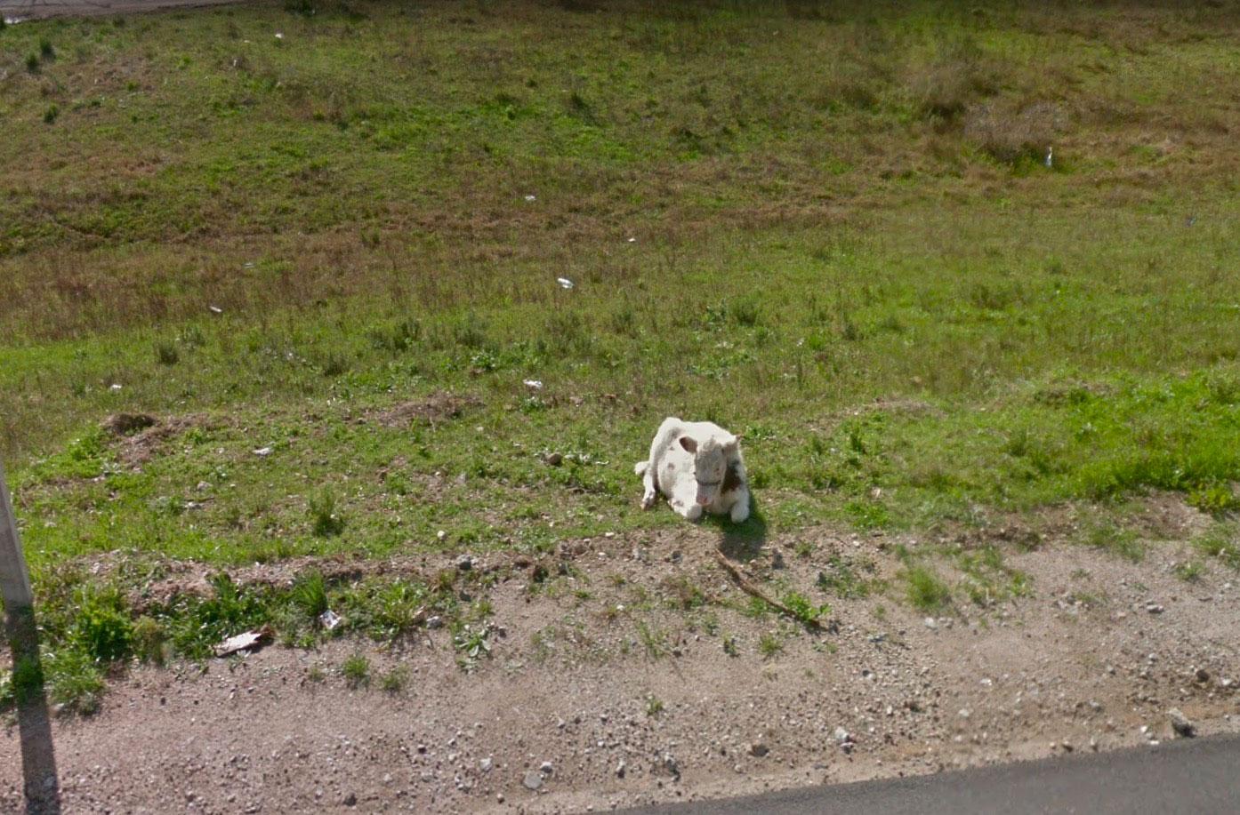 Une vache perdue dans Google Maps