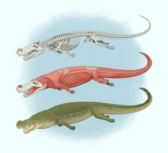 Deinosuchus-schwimmeri